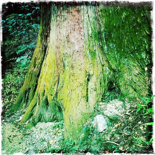 Tree Moss Oldtree 苔 古ぼけた木 樹齢