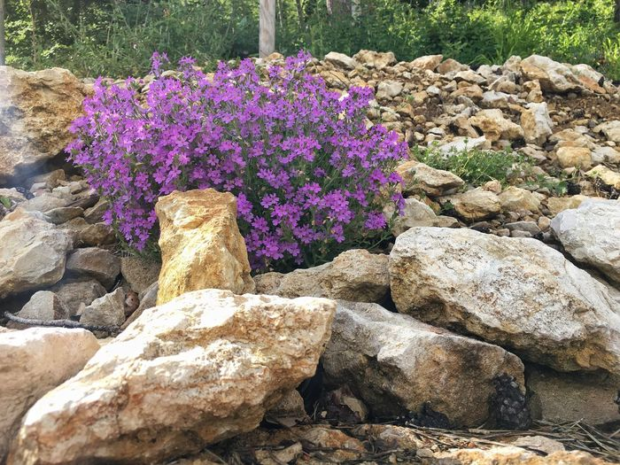 Alpine Balsam Erinus Alpinus between Stones before the Forest Stone Forest Flower Purple Rock Nature Beauty Of Nature Fragile Plant Day In The Wild Calm Close Multicolored Switzerland Blossom Idyllic Scene Botany Flora Leaf Outside