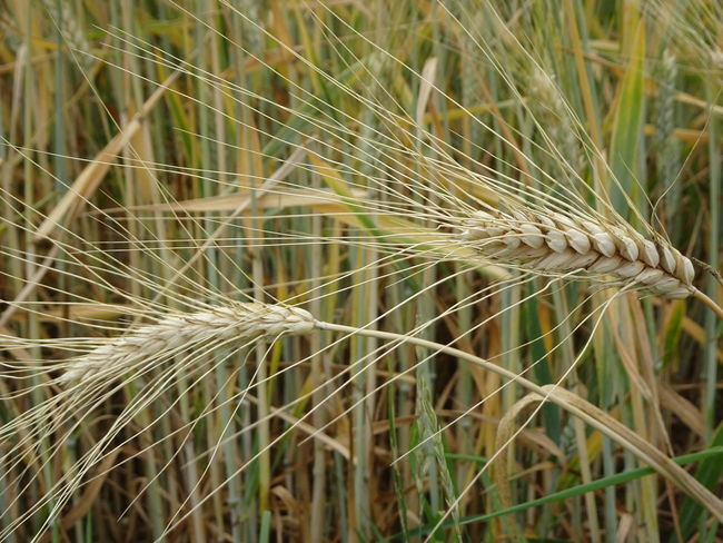 Agriculture Beauty In Nature Cereal Plant Close-up Crop  Day Ear Of Wheat Farm Field Focus On Foreground Grass Green Color Growth Land Nature No People Outdoors Plant Rural Scene Rye - Grain Stalk Wheat
