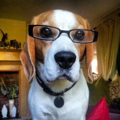 Cutedog Beagle Dogglasses Dog Puppy