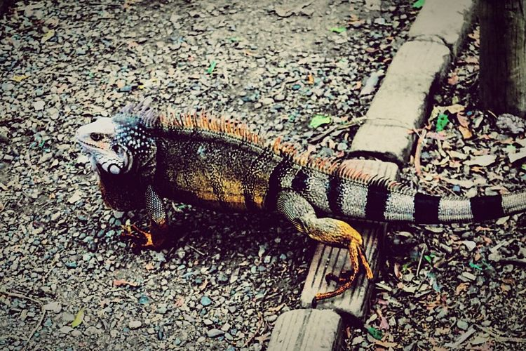 the lizard king Lizard Nature Taking Photos DSLR Photography M4/3  Nature Photography