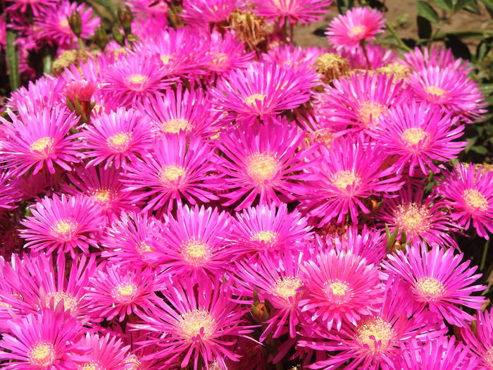 Flowers in Chile Nature Plants Yellow Flower Flower Flowers In Chile, Garden Leaf Pink Flower Purple Flower Red Flowers