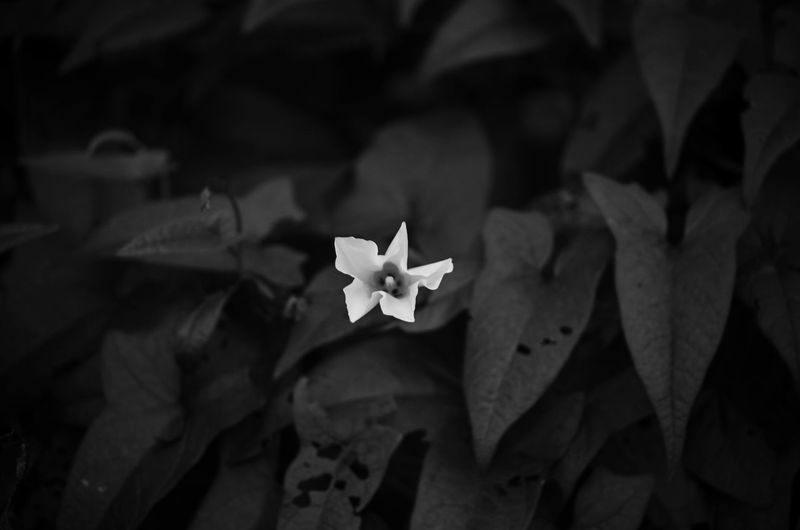 Black and White Flower in West Chester, PA Wild Flower Photography Wild Flowers Wild Flower Beauty Wild Flowers Bloom Black And White Flower Black And White Photography No People Outdoors Outdoors Photograpghy  Outdoor Flowers Nature Flower Just Flowers EyeEmNewHere EyeEmNewHere. Flower Flowering Plant Beauty In Nature Flower Head Focus On Foreground No People Petal Fragility Vulnerability  Growth Plant Part Outdoors Nature Leaf Plant My Best Photo