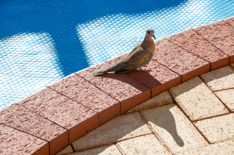 High Angle View Of Mourning Dove At Poolside