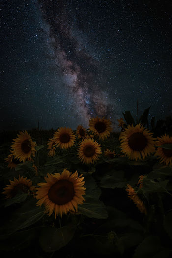 The milky way over a field of sunflowers.