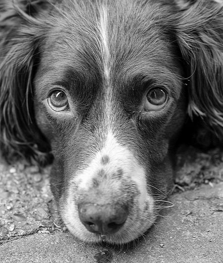 Daisy - Springer Spaniels Black And White Photography Dog Portrait Gundog Dog Photography Pet Photography  Taking Pictures Pets Black & White Gundogs