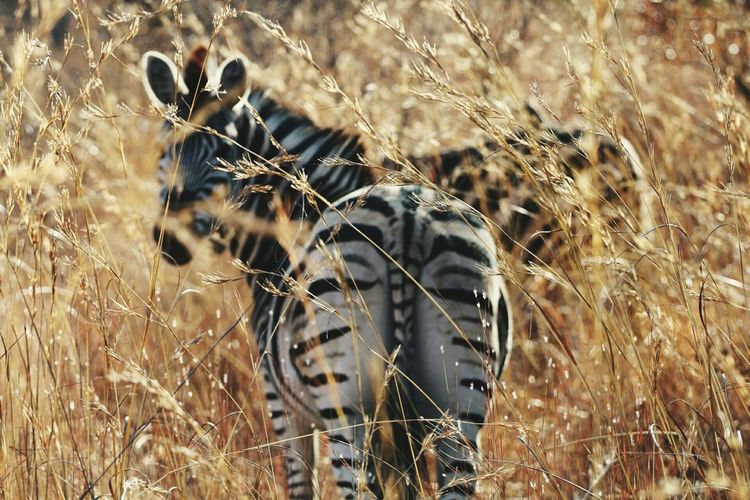 View Of Zebra On Field
