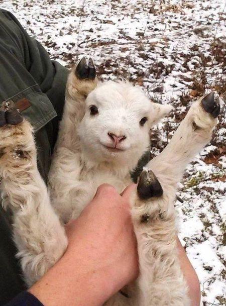 This is life☺️ EyeEm Nature Lover Taking Photos Hello World IPhoneography Relaxing Enjoying Life EyeEm Best Shots Winter Snow Lamb Animals Animal Nature