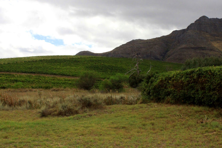 Agriculture Landscape_Collection Landscape_photography Lush Foliage Stellenbosch The Cape Vinyards Viticulture Wine Farm Winelands