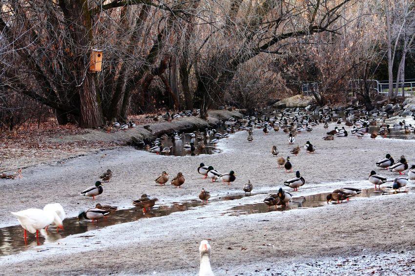 Layton Utah. Layton commons park Laytonutah Layton Ducks Park River Nature Photography Nature Wildlife Wildlife & Nature Waterfowl