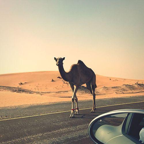 Uae dessert camel