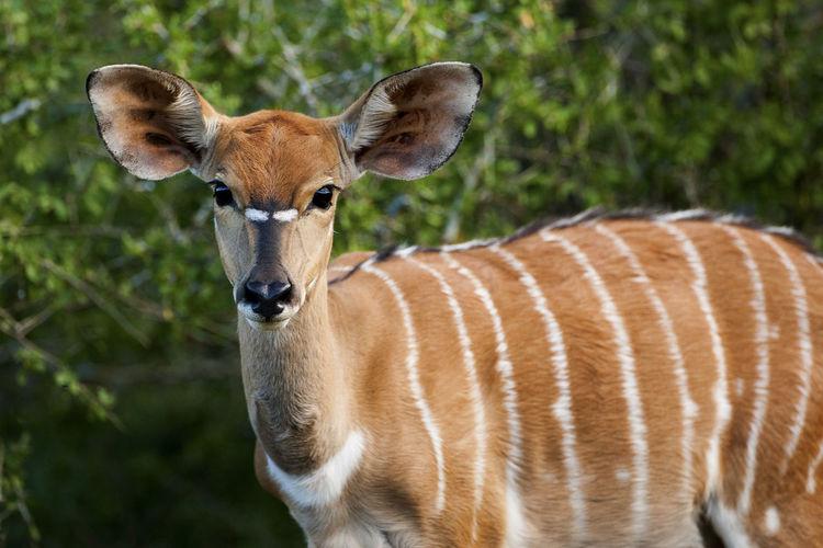 Close-up portrait of kudu