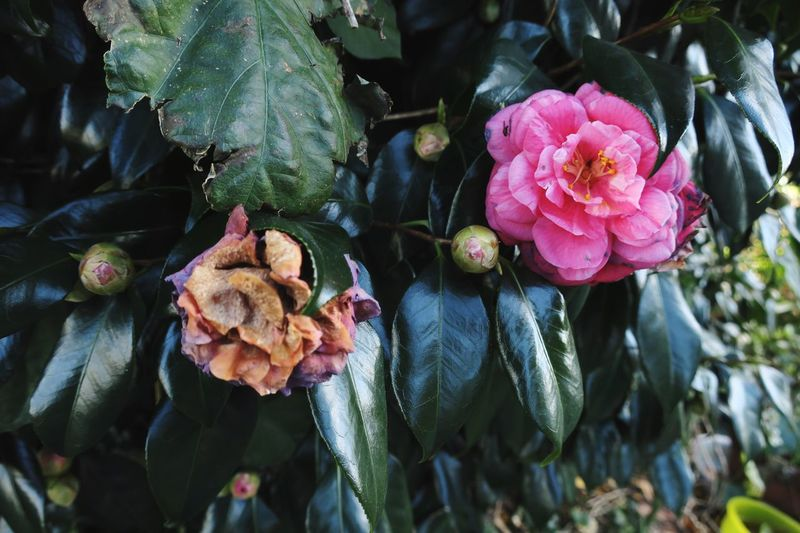 Close-up of pink flowers and buds