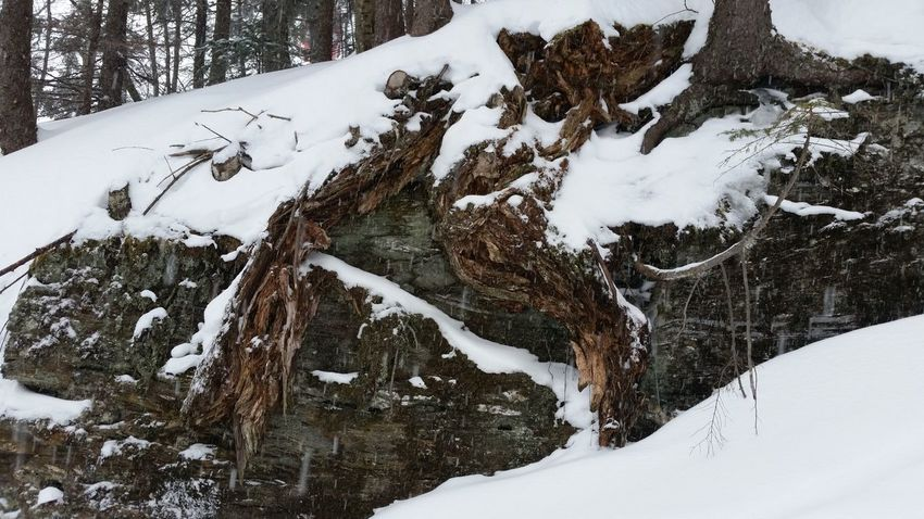 Snow Winter Cold Temperature Nature Day Outdoors Beauty In Nature Tree No People Nature Plant Tree Winter Roots Treeroots Roots And Rocks Tree Roots