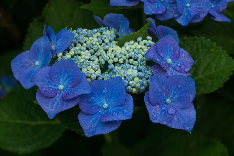 Close-Up Of Fresh Wet Purple Hydrangeas Blooming Outdoors