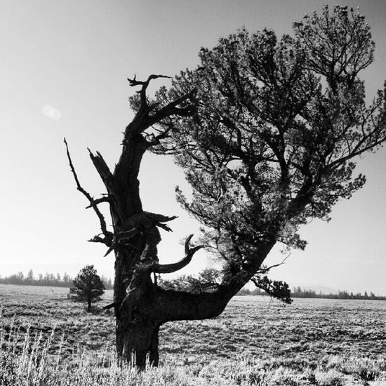 #patriarchtree #wyoming #tetonnationpark #nature #nationalparks #tetons #mountains Patriarchtree Tetonnationpark Treehunters Treeshunter Nature Mountains Blackandwhite Tree Bw Wyoming Tetons Nationalparks