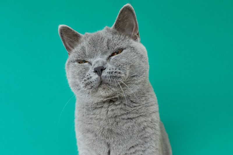 Cat with squinted eyes British Shorthair One Animal Cat Mammal Feline Animal Themes Domestic Cat Animal