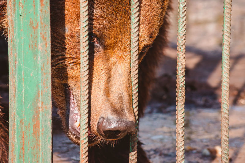 The head of a brown bear behind the metal rod of a cage stares at the camera. portrait of a wild