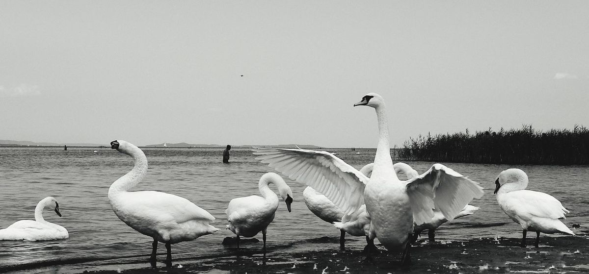 Swan Blackandwhite Nature EyeEmNewHere Fonyód Balaton Swan