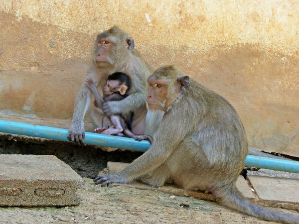 Monkeys Family Monkey Mountain Thailand