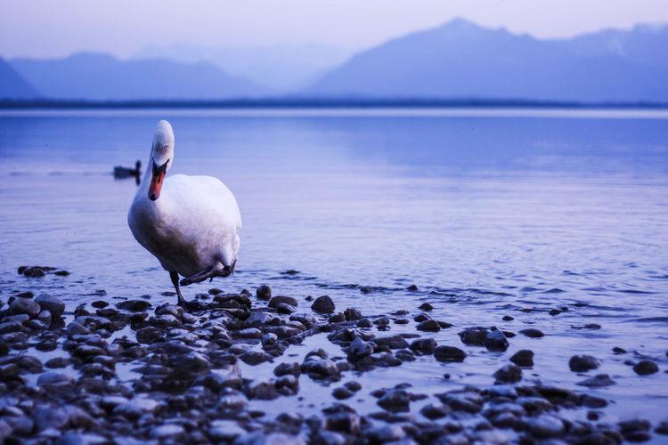 Swans on sea shore