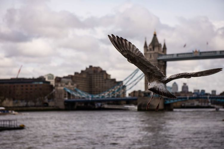 Bird flying against tower bridge over thames river in city