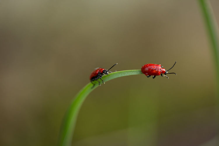 Balance Balancing Act Beetles Catch Me If You Can Curve Macro Macro Photography Nature Red Red Lily Red Lily Beetle