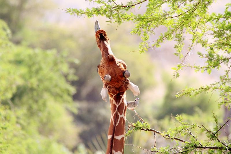 Animal Themes Animals In The Wild Wildlife Close-up Animal Beauty In Nature Travel Photography Giraffe Giraffe Eating Leafs Kenya Rickeherbertphotography