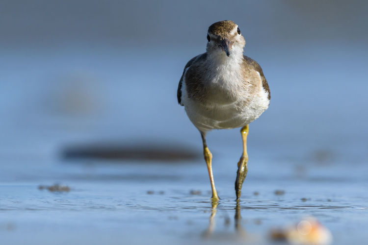 Curious young spotted sand piper hunts for breakfast on an early morning in Costa Rica Central America Costa Rica Animal Animal Themes Animal Wildlife Animals In The Wild Beach Bird Birds Close-up Day Front View Looking Nature No People One Animal Outdoors Perching Portrait Sand Piper Sandpiper Sea Selective Focus Vertebrate Water