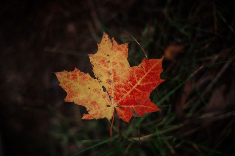 Close-up of maple leaf on land
