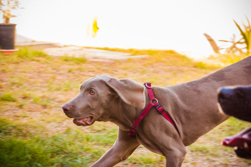 Animal Head  Animal Nose Animal Themes Canine Close-up Day Dog Dog Love Doglover Dogs Dogs Of EyeEm Dogs Playing  Dogs Playing Together Dogslife Dogstagram Dog❤ Domestic Animals German Weimaraner One Animal Outdoor Playtime Outdoors Pets Playing Outside Running Running Dog
