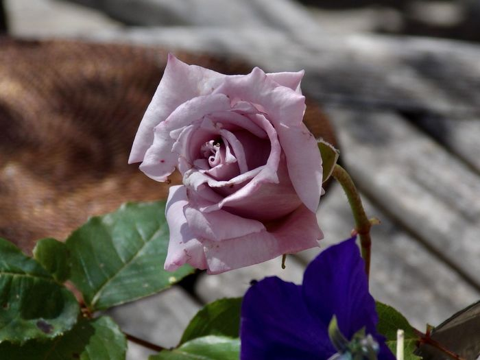 Sophisticated Vintage Colors Beauty In Nature Blooming Close-up Day Flower Flower Head Focus On Foreground Fragility Freshness Growth Leaf Nature No People Outdoors Petal Pink Color Plant Rose - Flower
