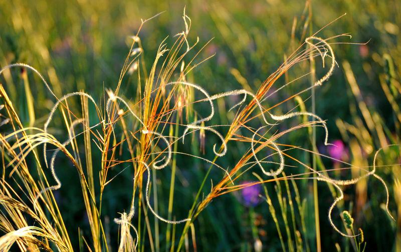 Feather grass,