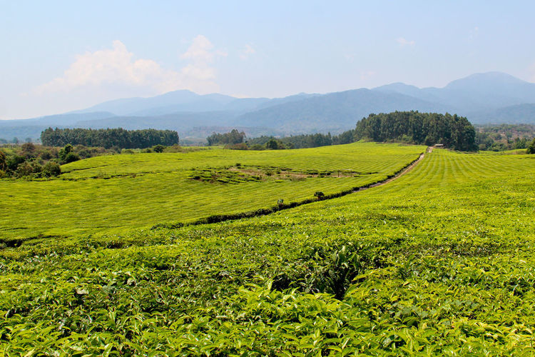 Agriculture Beauty In Nature Crop  Day Farm Field Grass Green Color Growth Landscape Mountain Mountain Range Nature No People Outdoors Rice Paddy Rural Scene Scenics Sky Tea Crop Tea Plantation  Terraced Field Tranquil Scene Tranquility Tree