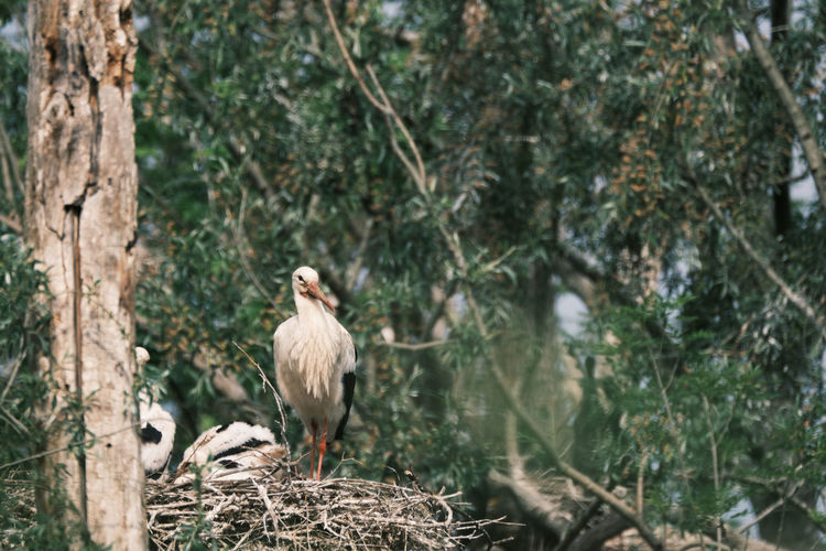 White stork perching in nest on a tree