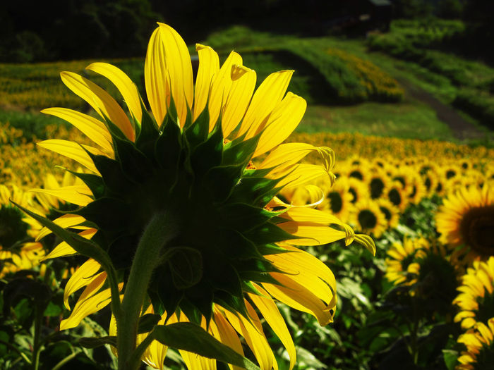 No People Outdoors Nature Flowering Plant Plant Flower Growth Sunflower Close-up Yellow Land
