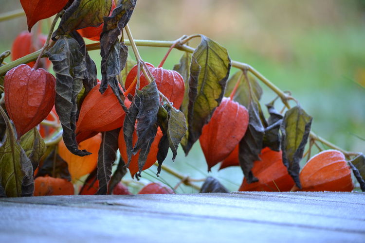 Close-up of winter cherries on plant