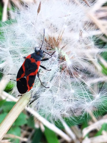 Dandelion Seed Dandelions Dandelion Dandelion Seeds Dandelion Seed Head Milkweed Bug Wish Heart Shape Pollination IPhoneography IPhone Flower Head Animal Themes Nature One Animal Fragility Animals In The Wild No People Beauty In Nature Insect Plant Day Outdoors Close-up Insects