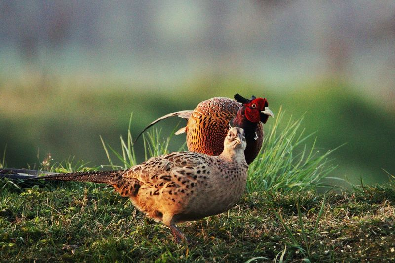 Fasan Pheasant Wildlife Bird Animal Animal Themes Vertebrate Animal Wildlife Animals In The Wild Nature
