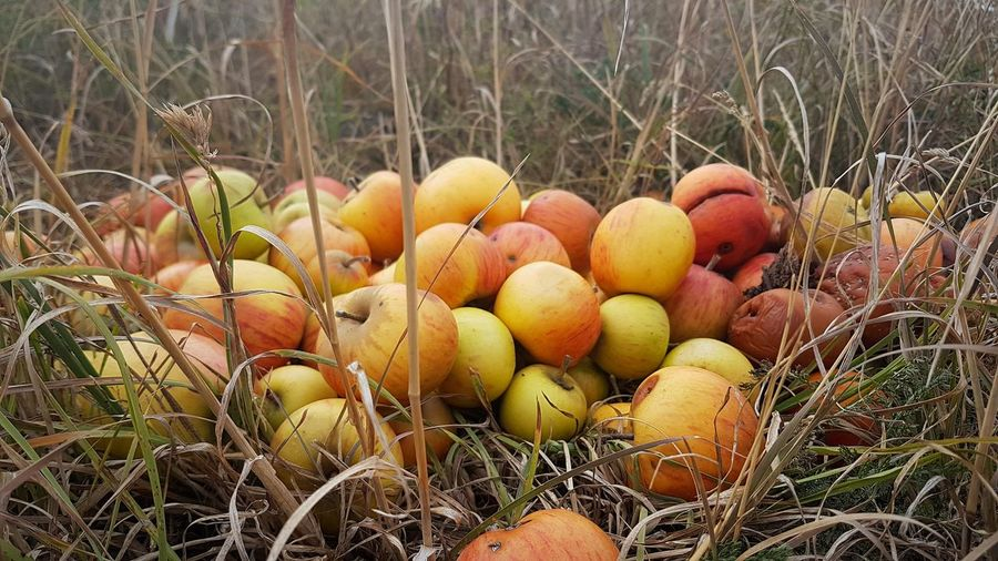 Appleday Apples Apple - Fruit Apple Picking Fruit EyeEmNewHere EyeEm EyeEm Best Shots View Scenics Calmness Of Nature Sunshine Ambient Light Liveauthentic colour of life Colourful Colorista Beauty In Nature Beautiful Love Focus On Details Focus On Foreground Focus Countryside Country Life Pic Of The Day Nature Photography Close-up Grass Grass Area Field