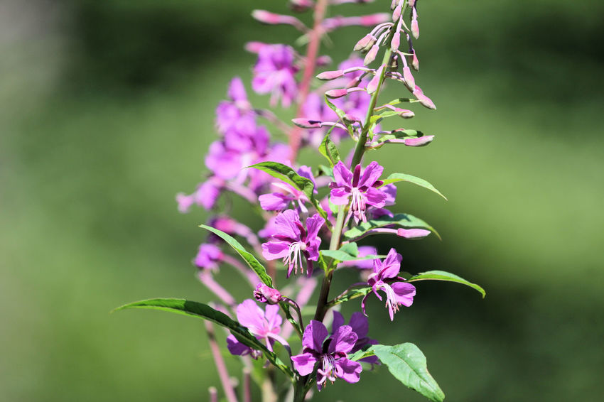 Beauty In Nature Botany Flower Focus On Foreground Park Pink Color Wild Wildpark Alte Fasanerie