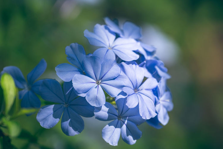 """""""Pastel tone"""" - Collection of Plumbago auriculata flowers. Flowering Plant Flower Fragility Plumbago Auriculata Plumbago Vulnerability  Freshness Plant Petal Beauty In Nature Close-up Inflorescence Flower Head Growth Focus On Foreground Blue Purple Nature Botany Pastel Colored No People Nature_collection Petals🌸 Blooming Soothing Outdoors Plant Life In Bloom Blossom Lilac"""