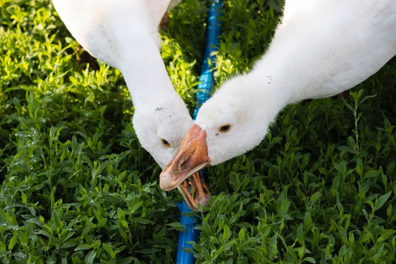 Close-up of geese on plants