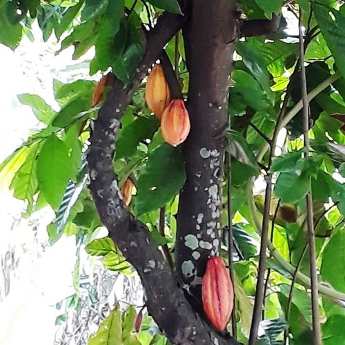 Cacao Tree Branch Leaf Fruit Hanging Flower Close-up Plant Green Color Food And Drink Fruit Tree Plant Life In Bloom Blooming Blossom Botany