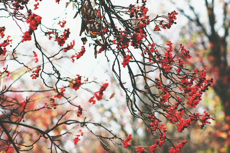 """""""Et que j'aime ô saison que j'aime tes rumeurs, les fruits tombant sans qu'on les cueille, le vent et la forêt qui pleurent toutes leurs larmes en automne feuille à feuille. Les feuilles qu'on foule. Un train qui roule. La vie s'écoule."""" Fall Red Trees Apollinaire Warsaw Traveling Travel Photography Autumn Colors Of Autumn Berries Red Berries Autumn Berries"""