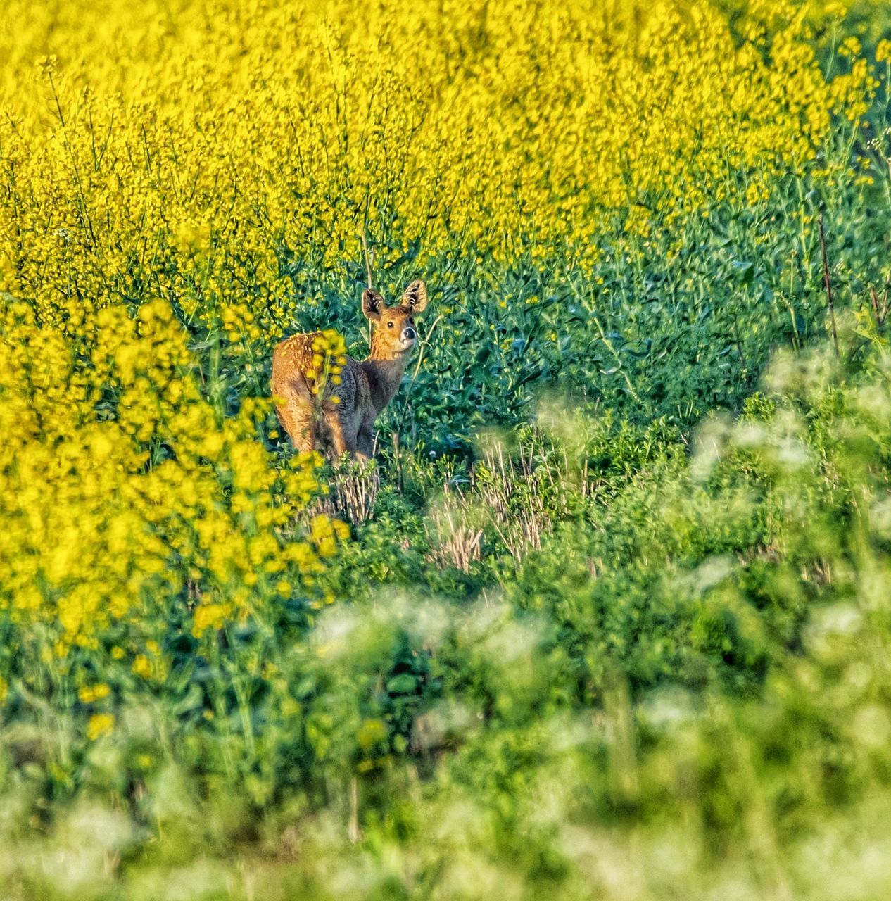 animal, mammal, animal themes, yellow, one animal, plant, animal wildlife, no people, animals in the wild, nature, field, land, cat, feline, flowering plant, day, beauty in nature, flower, vertebrate, selective focus, outdoors