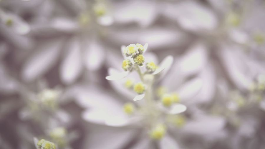 Flowers Okinawa OKINAWA, JAPAN Miyakojima 木白虎 沖縄 宮古島 Silver Leaf Flower Nature Growth Fragility Close-up Plant Blossom Selective Focus Day Outdoors No People Freshness Beauty In Nature Flower Head