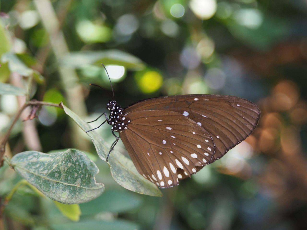 invertebrate, insect, animal wildlife, animal wing, animal, animals in the wild, animal themes, butterfly - insect, close-up, one animal, beauty in nature, focus on foreground, plant part, day, leaf, nature, plant, butterfly, no people, growth, outdoors, leaves