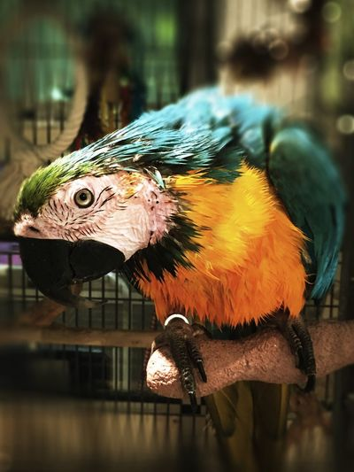 Close-Up Of Gold And Blue Macaw In Birdcage