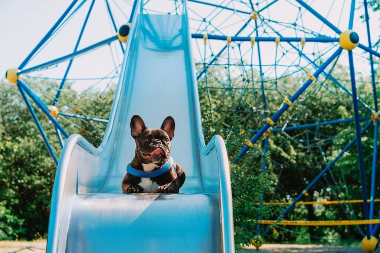 Portrait of a french bulldog dog at playground in summer